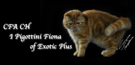 CFA CH I pigottini Fiona of Exotic Plus - Esotica Red Tabby